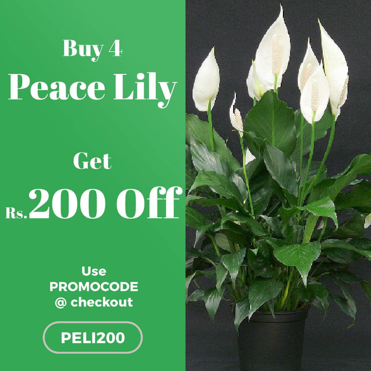 Buy 4 Peace Lily and get Rs.200 OFF