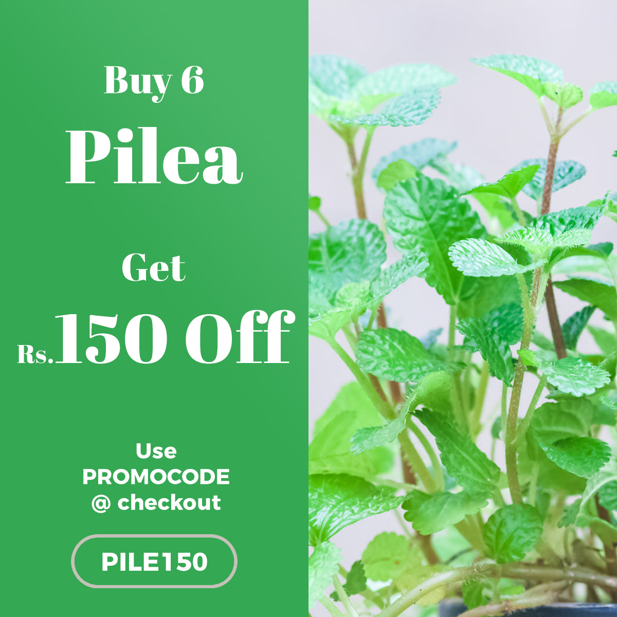 Buy 6 Pilea Nummulariifolia Plant and get Rs.150 OFF