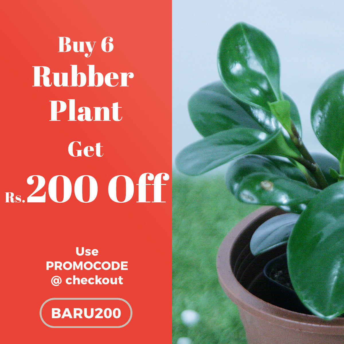 Buy 6 Baby Rubber Plant and get Rs.200 OFF