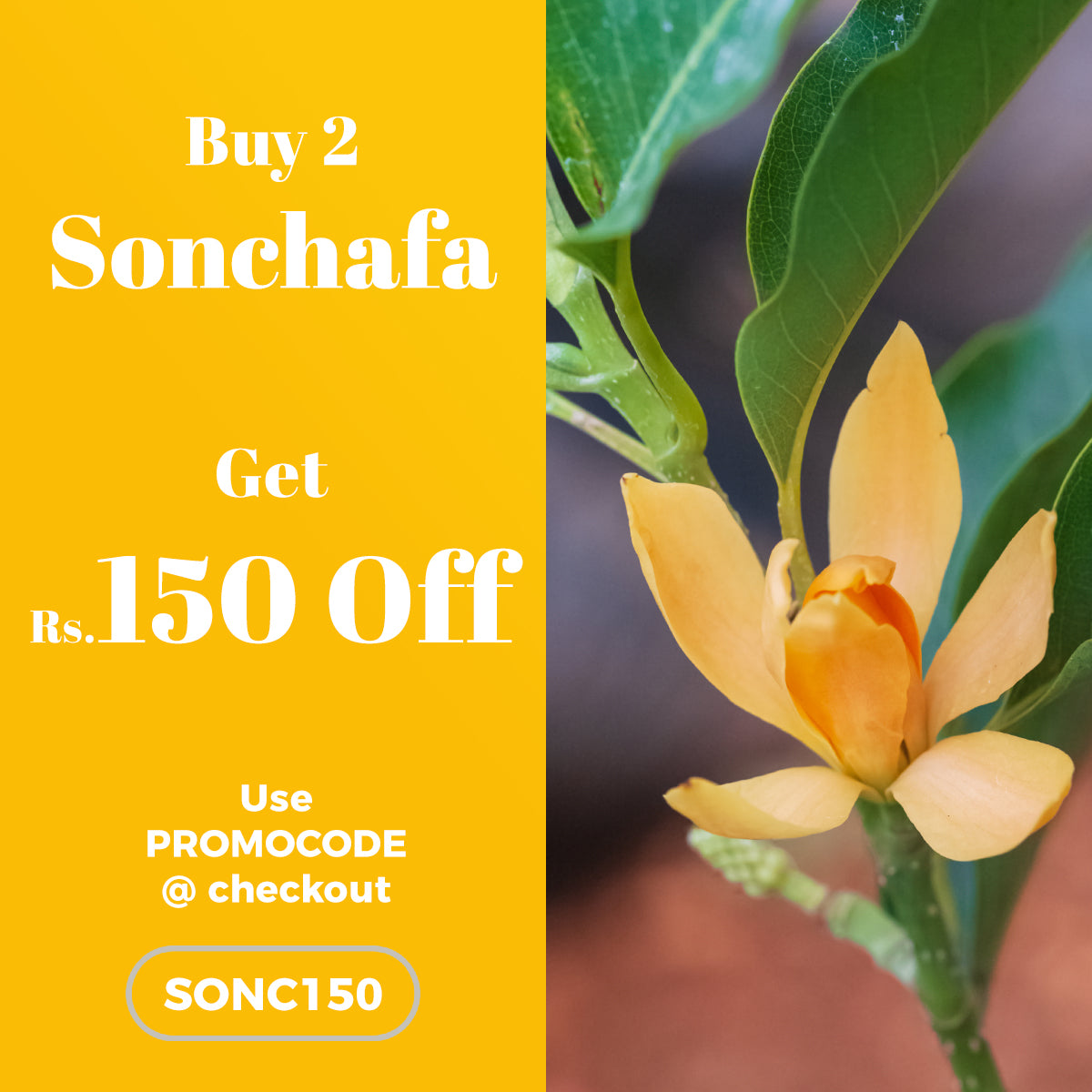 Buy 2 Sonchafa Plant and get Rs.150 OFF