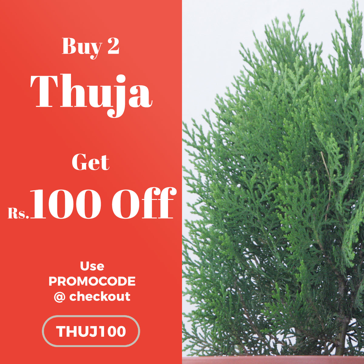 Buy 2 Thuja Plant and get Rs.100 OFF