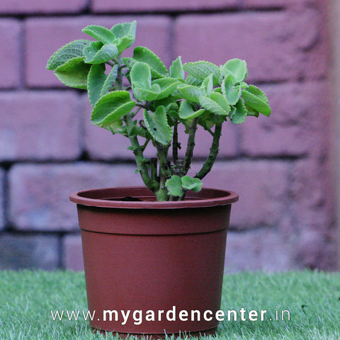 Ajwain Plant Potted
