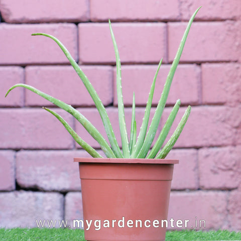 Aloevera Plant Potted
