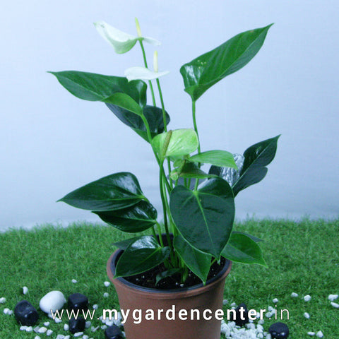 Flamingo Flower Plant (White)