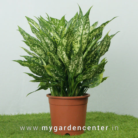 Dieffenbachia Star Bright Potted Plant