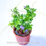 Duranta Purple