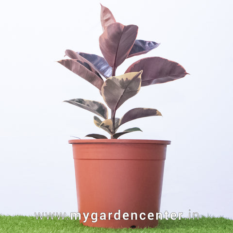 Rubber Plant Dark Pink