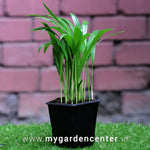 Arecca Palm Mini Potted Plant