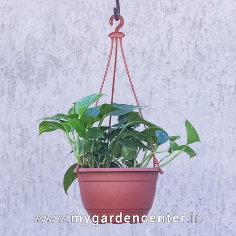 Money Plant variegated