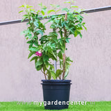 shop online for Passiflora Red Ruby - Krishna Kamal at mygardencenter.in nursery online. online nursery in india. Buy Passiflora Red Ruby garden plants in india