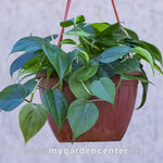 Variegated Heart Leaf Philodendron