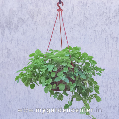 Pilea (Big Leaf) - Hanging Pot