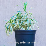 Song of India (Dracaena Reflexa)