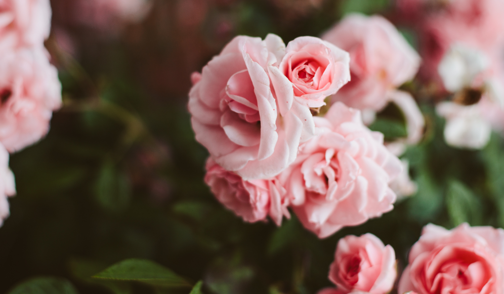 The Benefits of Roses for the Skin