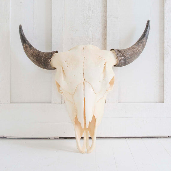 Natural Bison Skull, Black Horns