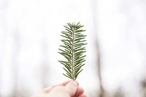 Pine Oil - Hormone Balance Essential Oil