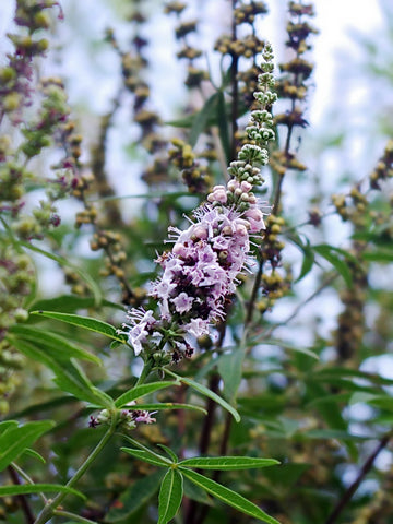 Vitex Oil - Hormone Balance Essential Oil