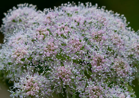 Angelica Oil - Hormone Balance Essential Oil