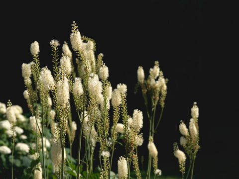 Black Cohosh - Herbs for Menopause
