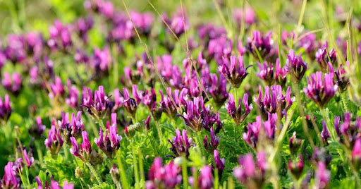 Astragalus is a traditional chinese adaptogenic herb that helps with balancing your hormones