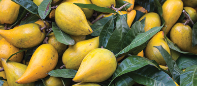 What Is Lucuma? And Why You Will Want It.