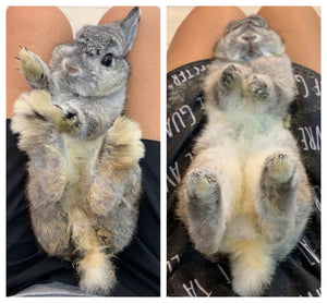Rabbit Grooming Singapore, Rabbit Grooming, Grooming Services, Chinchilla, Guinea Pig, Hamster, Rabbits. Modular pens to fit your pets needs. With 24/7 CCTV and air-conditioning. Rabbit Boarding Singapore, Chinchilla Boarding, Guinea Pig Boarding