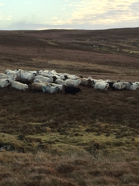 Gathering hill sheep
