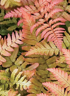 "6"" Autumn Fern $3.50"