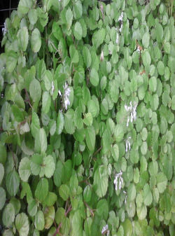 "6"" PLECTRANTHUS SWEDISH IVY $3.50"