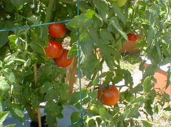 "6"" TOMATOE BETTER BUSH $2.75"