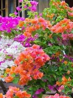 "10"" BOUGAINVILLEA LOTS OF COLOR $ 15.00"