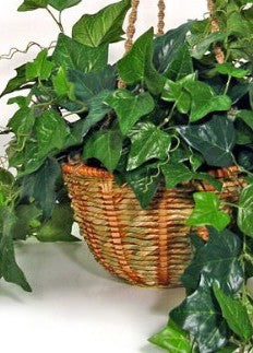 "4.5"" English Ivy Gorgeous"
