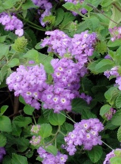 "10"" TRAILING LANTANA PURPLE $8.75"