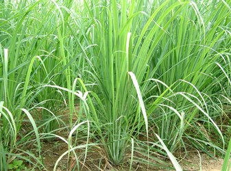 "6"" LEMON GRASS $2.75"