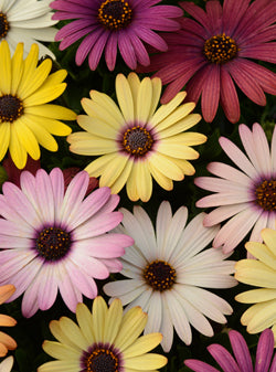"6"" OSTEOSPERMUM ASST COLORS $2.25"