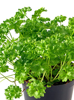 "6"" Herbs Parsley $ 2.75"