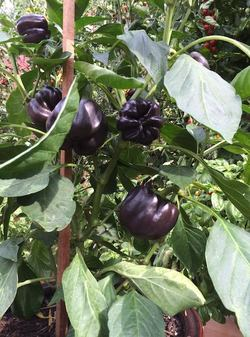 "6"" PURPLE BEAUTY PURPLE BELL PEPPER $2.75"