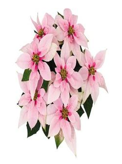 "8"" 3PPP Poinsettias Pink SINGLE $9.75ea"