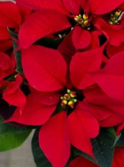 "8"" 3PPP Poinsettias Red SINGLE $9.75ea"