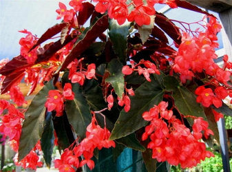 1G ANGEL WING BEGONIA RED $3.40