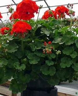 "6"" GERANIUMS RED -LOT SPECIAL $2.35"