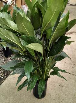 "8"" SPATHIPHYLLUM (WITH FLOWERS)"