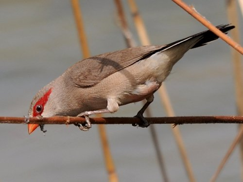 Black-rumped (Red-eared) Waxbill - New York Bird Supply