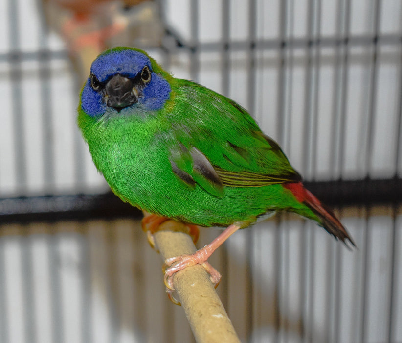 Blue Faced Parrotfinch - New York Bird Supply