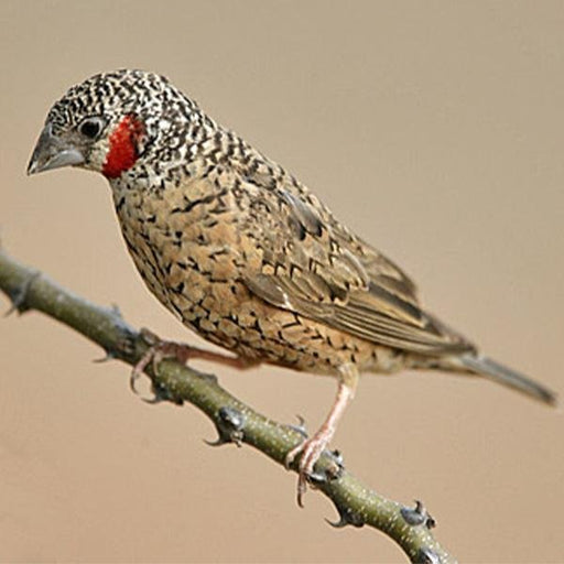 Cut Throat Finch - New York Bird Supply