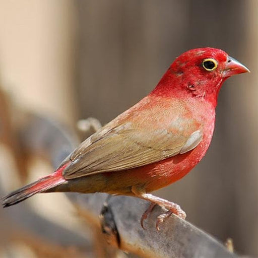 Fire Finch Red Billed - New York Bird Supply