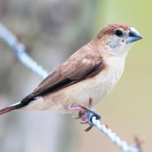 Indian Silverbill - New York Bird Supply