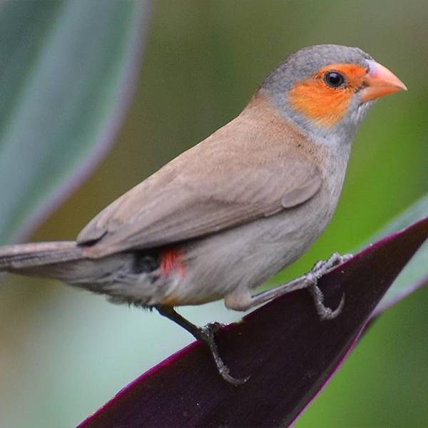 Orange Cheever Waxbill - New York Bird Supply