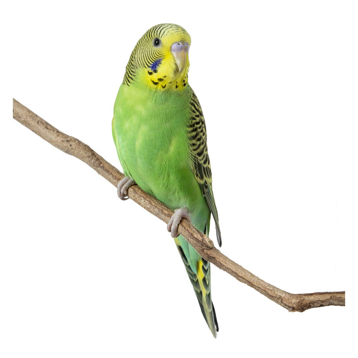 Parakeets - New York Bird Supply