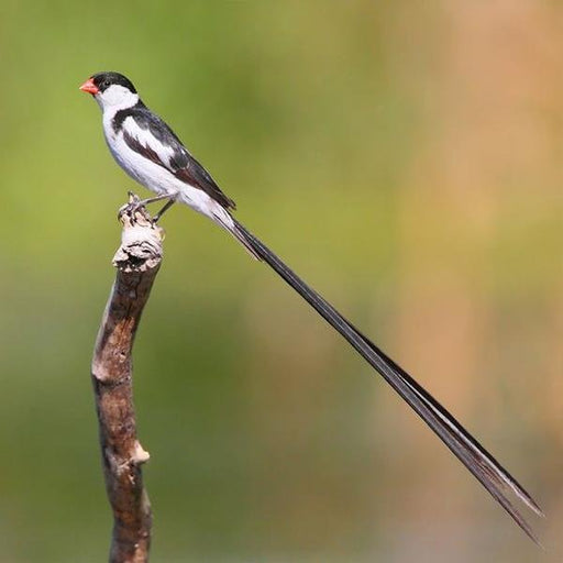 Pin-tailed Whydah - New York Bird Supply